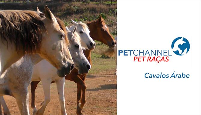 Pet Raças - Cavalos Árabe